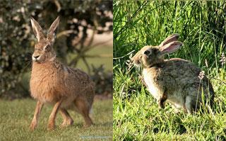 Hare vs jackrabbit - photo#7